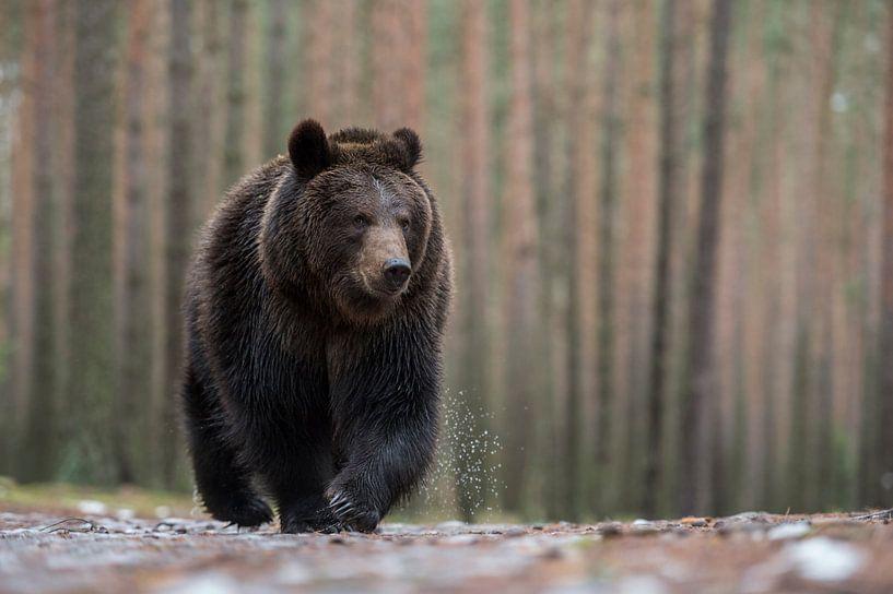 Eurasian Brown Bear ( Ursus arctos ) walking over wet ground, in front of a boreal forest, impressiv van wunderbare Erde