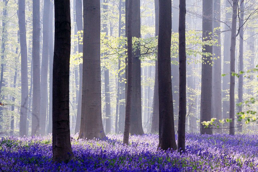 Een sprookje in blauw...Hallerbos van Els Fonteine