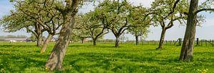 Voorjaar in de boomgaard met oude appelbomen