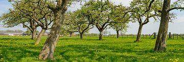 Frühjahr im Obstgarten mit alten Apfelbäumen von Sjoerd van der Wal