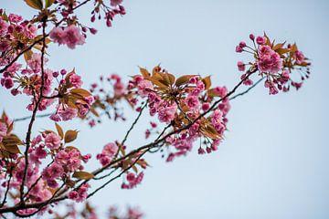 Kirschblütenbaum || rosa Blumen Foto-Poster von Manon Galama