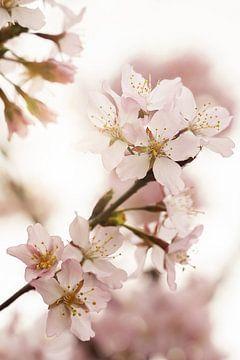 Rosa Frühlingsblüte von Henrike Schenk