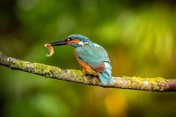IJsvogel man met visje