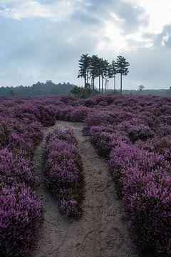 Heideveld Utrechtse heuvelrug Den treek Amersfoort Wanderweg von Peter Haastrecht, van