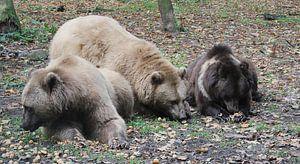 Ik zag drie beren.