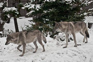 Grijze wolf op winterse witte sneeuw is een roofdier. Een paar wolven man en vrouw gaan vooruit. van Michael Semenov