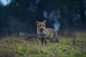 Vos (Vulpes vulpes) in winterjas laat in de avond bij gevorderde schemering aan de rand van het bos, van wunderbare Erde