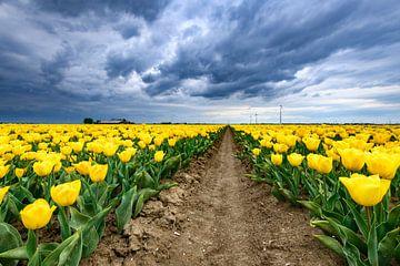 Blühende gelbe Tulpen auf einem Feld von Sjoerd van der Wal
