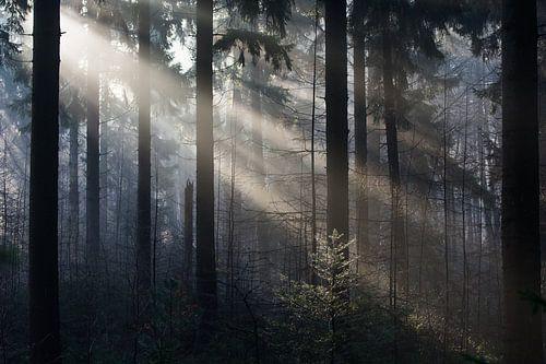 Zonneharpen in dennenbos