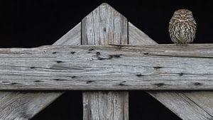 De steenuil op het oude hek van