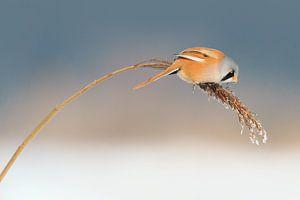 Baardmannetje in het riet in de winter