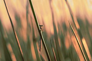 Libelle im Abendlicht.