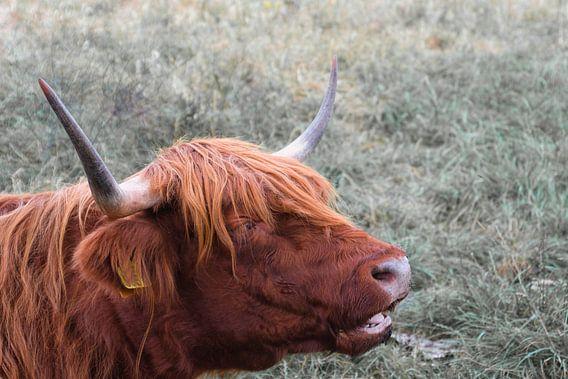 Schotse Hooglander liggend in het gras