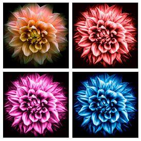 collage Blüte der Dahlie in 4 verschiedenen Farben auf schwarzem Hintergrund von Dieter Walther