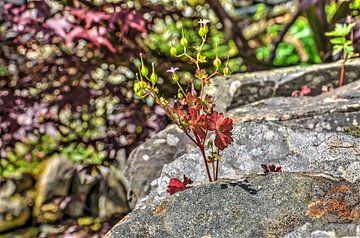Englisches Mauerblümchen