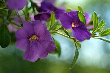 Violette Blume von Joke Beers-Blom