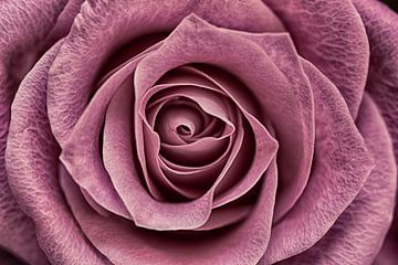 Makro der Rose in Altrosa von Lisette Rijkers