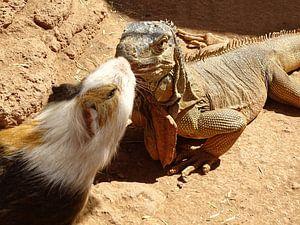 Leguaan en cavia dierenvriendjes van