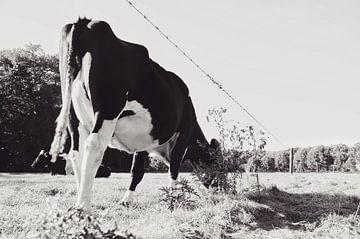 Grazende koe van Karin Stuurman