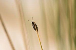 Insect op helmgras in de duinen van Terschelling