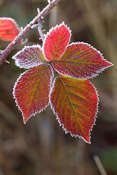Herfstblad met rijp van Frouwkje Fotografie