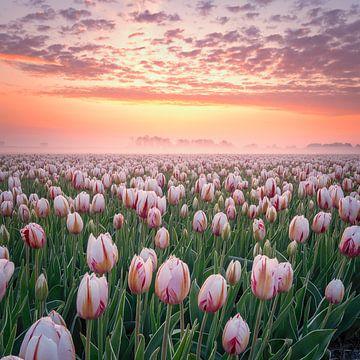 Rood witte tulpen tijdens zonsopgang. van Nick de Jonge - Skeyes