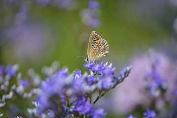 Vlinder in een paars bloemenveld