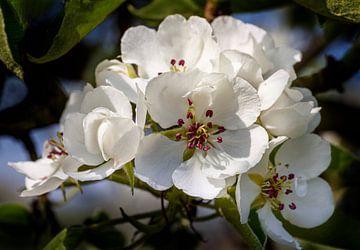 Birnenblüte in der Betuwe, Niederlande (1) von Adelheid Smitt