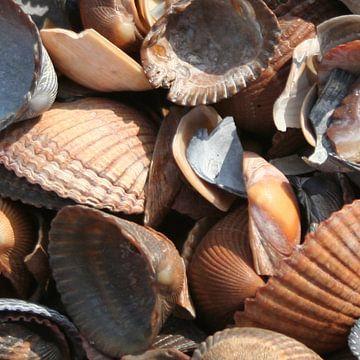 Brown shells van Queen Emma
