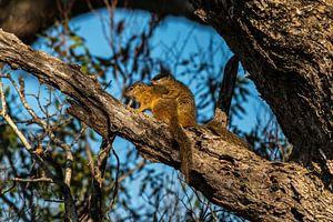 (Lanzerac) Eekhoorn (Zuid Afrika) - Sciurus