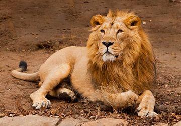 Un lion mâle puissant à la crinière chic ment de façon impressionnante. sur Michael Semenov