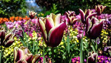 Tulpen von rosstek ®