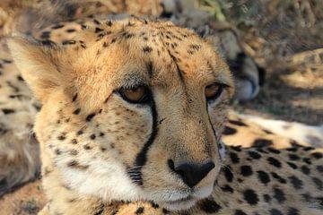 Leopard von Geert Neukermans