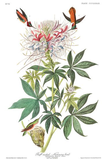 Rosse Kolibrie van Birds of America