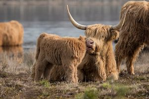 Schotse Hooglander Moeder en Kalf van