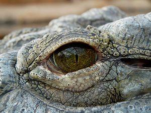 A travers l'œil de l'alligator