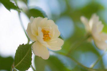 zacht roosje van Tania Perneel