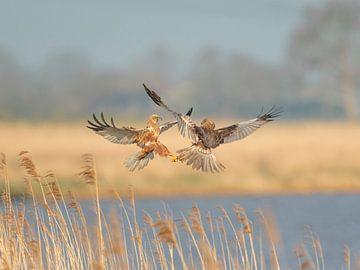 Bruine Kiekendieven in gevecht