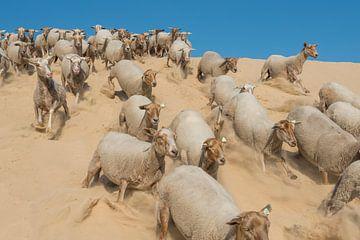 Schafe – Nationalpark De Loonse en Drunense Duinen sur Laura Vink