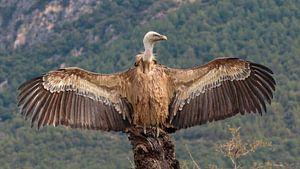 Vautour fauve espagnol sur un rocher avec des ailes déployées