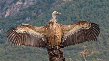 Spaanse Vale Gier op rots met gespreide vleugels van Photo Henk van Dijk