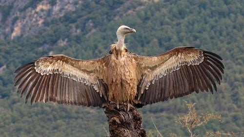 Spaanse Vale Gier op rots met gespreide vleugels