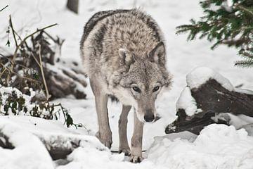 Ein Wolfsweibchen schleicht sich an, geht geradeaus, geht unter dem Weihnachtsbaum im Wald hervor. von Michael Semenov