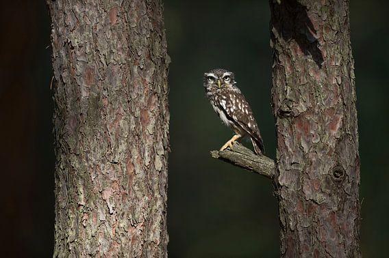 Little Owl * Athene noctua *