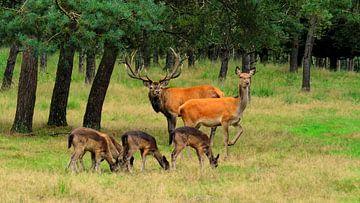 Edelherten en Damherten in het bos van Arjan de Kreek