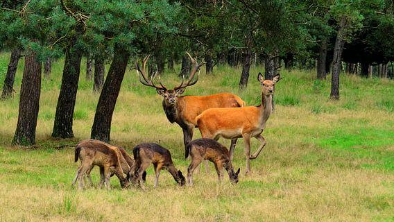 Edelherten en Damherten in het bos