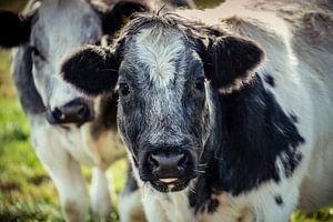 Lief uitziende grijze en witte ruige koe van Urban Photo Lab