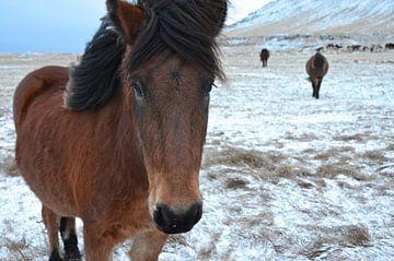 IJslander op IJsland van Willem Holle WHOriginal Fotografie