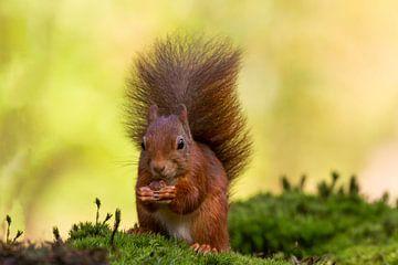 Eichhörnchen mit schönem Federschwanz von Paul Weekers Fotografie