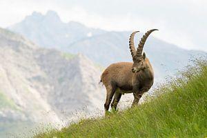 Een Alpensteenbok mannetje vastgelegd in het Alpenlandschap